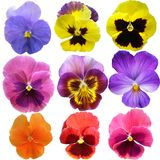 Pansies on White background Stock Images