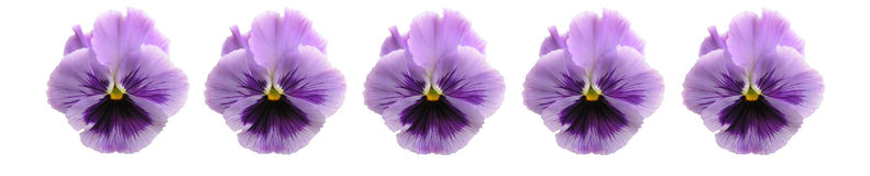 Isolated Pansy Bar Royalty Free Stock Photos
