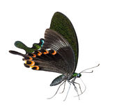 Isolated Paris peacock butterfly sucking food Stock Images
