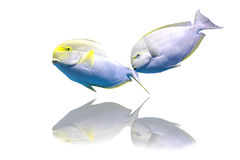 Isolated Parrotfishes. The isolated picture of two parrotfishes Stock Image