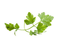 Isolated parsley leaf over white Royalty Free Stock Photography