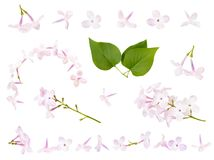 Isolated parts of blooming purple lilac branch. Spring time. Isolated parts of blooming purple lilac branch on white background, spring flowers royalty free stock photo