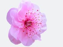 Isolated peachblossom Royalty Free Stock Photo