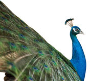 Isolated peacock Royalty Free Stock Image