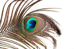 Isolated Peacock Feather Stock Photos