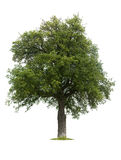 Isolated Pear Tree during summer Stock Photos