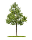 An isolated pear tree Royalty Free Stock Image