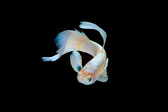 Isolated pearl guppy fish. On black background Stock Image