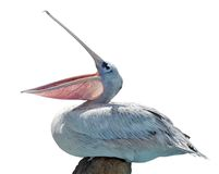Isolated pelican Stock Photos