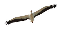 Isolated pelican in flight Royalty Free Stock Image
