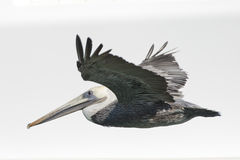 Isolated Pelican while flying. On the white background Stock Photos