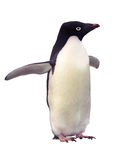 Isolated  penguin Adelie with clipping path
