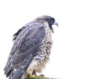 Isolated peregrine falcon. Stock Photos