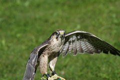 Isolated Peregrine Falcon on the lawn Stock Photo