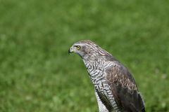 Isolated Peregrine Falcon on the lawn in the mountains Stock Images