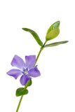 Isolated periwinkle flower. On white background Stock Photography