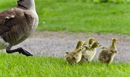 Isolated photo of a family of Canada geese running Royalty Free Stock Image
