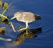 Isolated photo of a funny black-crowned night heron walking in the water. Photo of a funny black-crowned night heron standing on the shore Royalty Free Stock Photos