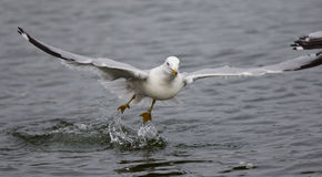 Isolated photo of a gull taking off from the water Royalty Free Stock Image