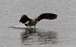 Isolated photo of the landing Canada goose Stock Photos