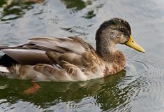 Isolated image of a mallard swimming in lake. Isolated photo of a mallard swimming in lake Royalty Free Stock Images