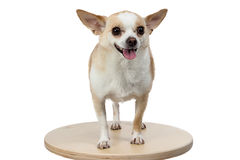 Isolated photo of small dog Stock Images