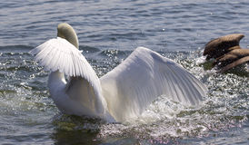 Isolated photo of the swan showing his power to the goose Stock Photo