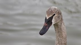 Isolated photo of a trumpeter swan swimming. Isolated image of a trumpeter swan swimming stock images