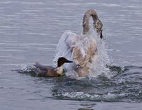 Isolated photo of a trumpeter swan under attack of a  crazy duck. Isolated photo of a swan under attack of a  crazy duck Royalty Free Stock Photos