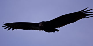 Isolated photo of a vulture in the sky royalty free stock photos