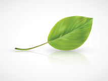Isolated photorealistic green leaf Stock Images
