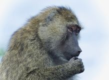 Isolated picture with a funny baboon looking aside. Picture with a funny baboon looking aside stock image