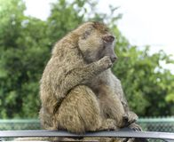 Isolated picture with a funny baboon looking aside. Isolated photo of a funny baboon looking aside stock images