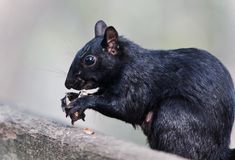 Isolated picture with a funny squirrel eating nuts. Isolated photo of a funny squirrel eating nuts Royalty Free Stock Photo