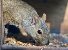 Isolated picture with a funny squirrel eating nuts Royalty Free Stock Images