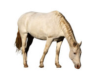 Isolated Picture of Large Horse Grazing Stock Photos