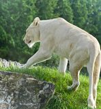 Isolated picture with a white lion walking Stock Photos