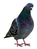 Isolated Pigeon Royalty Free Stock Photos