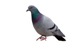 Isolated Pigeon. On White stock photo
