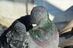 Isolated pigeon in Venice, close up Stock Photography