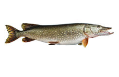 Isolated pike, a kind of river fish from the side. Fish-predator. Live fish with flowing fins Royalty Free Stock Photo