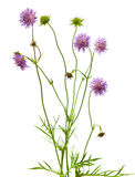Isolated pincushion flower plant. The plant of the Pincushion flower, or scabiosa columbaria, known for its rich nectar which attracts insects, isolated on white Royalty Free Stock Photo