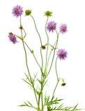 Isolated pincushion flower plant royalty free stock photo