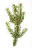 Isolated pine branch Stock Image