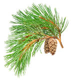 Isolated Pine Branch Stock Photo