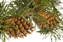 Isolated pine branch with cones. Christmas decoration Royalty Free Stock Photo