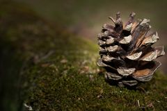 Isolated pine cone on a pine tree bark. Holiday concept, background stock photos