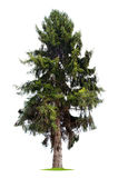 Isolated pine tree Royalty Free Stock Photos