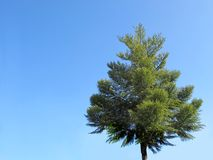 Isolated Pine tree on blue sky. Single pine tree on blue sky stock photo