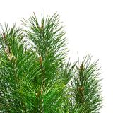 Isolated pine tree branches Stock Image